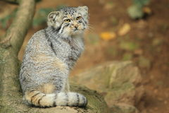 Paliuszu kot Fotografia Stock