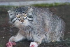 Paliuszu kot (Otocolobus manul) Zdjęcia Stock
