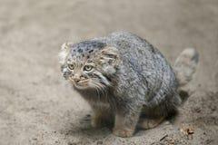 Paliuszu ` s kota Otocolobus manul, także znać jako manul zdjęcia royalty free