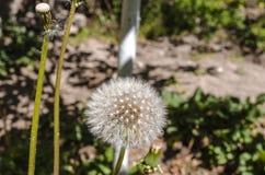 Palla bianca lanuginosa dei semi del dente di leone Fotografia Stock Libera da Diritti