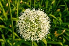 palla Bianco verde di un fiore decorativo Fotografia Stock Libera da Diritti