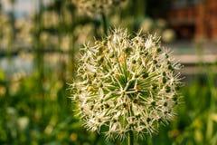 palla Bianco verde di un fiore decorativo Immagine Stock
