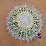 Palla del cactus Fotografia Stock