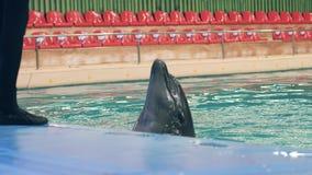 Palla della tenuta del delfino con le alette durante l'addestramento nella piscina in dolphinarium archivi video