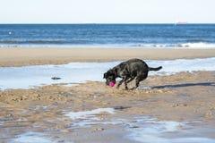 Palla di cattura del cane sulla sabbia Fotografie Stock