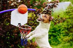 Palla di cattura del giocatore di pallacanestro divertente sopra il cerchio Fotografia Stock