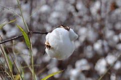 Palla di cotone Immagine Stock