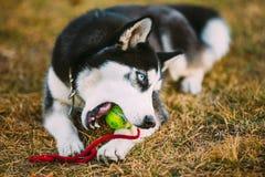 Palla di Husky Puppy Plays With Tennis del cane immagini stock libere da diritti