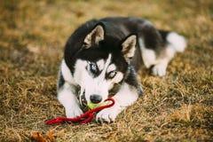 Palla di Husky Puppy Plays With Tennis del cane immagine stock