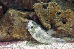Palla di pesce sola Immagine Stock