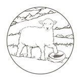 Palla di rugby della Nuova Zelanda delle pecore Fotografia Stock