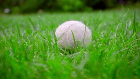 Palla di Tennins su erba Primo piano del giocattolo del cane su prato inglese verde Pallina da tennis bianca stock footage