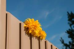 Palla dorata del fiore giallo di rudbeckia Fotografia Stock Libera da Diritti