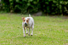 Palla felice di Jack Russell Terrier With His Favorite fotografie stock libere da diritti