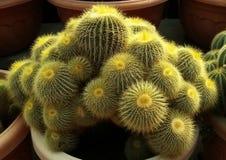 Palla fine del cactus della spina immagine stock libera da diritti