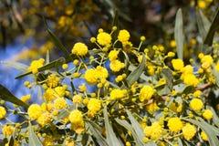 Palla gialla dei fiori della mimosa Giorno della donna s, l'8 marzo Immagini Stock Libere da Diritti