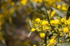 Palla gialla dei fiori della mimosa Giorno della donna s, l'8 marzo Immagine Stock Libera da Diritti