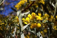 Palla gialla dei fiori della mimosa Giorno della donna s, l'8 marzo Fotografie Stock