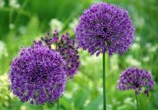 Palla lilla del fiore Fotografia Stock Libera da Diritti