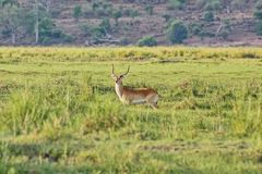 Pallah antelope Aepyceros melampus-African antelope of medium size. One of the most common species of antelopes. Their range extends from Kenya and Uganda to royalty free stock image