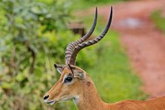 Pallah antelope Aepyceros melampus-African antelope of medium size. One of the most common species of antelopes. Their range extends from Kenya and Uganda to stock images