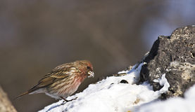 Pallas�s Rosefinch in forest Stock Photography