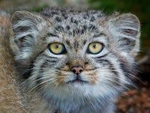 Pallas的猫(Otocolobus manul) 库存照片