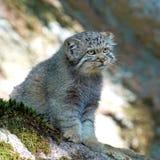 Pallas的猫(Otocolobus manul) 免版税库存照片