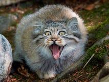 Pallas的猫(Otocolobus manul) 免版税库存图片