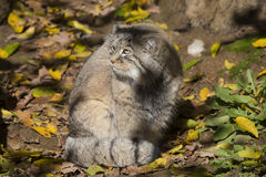 Pallas的年轻男性, PallasÂ猫, Otocolobus manul 免版税库存图片