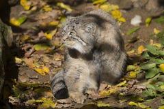 Pallas的年轻男性, PallasÂ猫, Otocolobus manul 免版税图库摄影