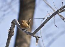 Pallas的Rosefinch在森林里 库存照片
