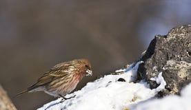 Pallas的Rosefinch在森林里 图库摄影