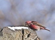 Pallas的Rosefinch在森林里 库存图片