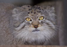 Pallas cat Royalty Free Stock Images