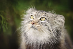 Pallas Cat. Portrait of a Pallas's Cat, also know as the Manul - a wild cat. Species: Otocolobus manul stock images
