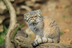 Pallas cat Stock Image