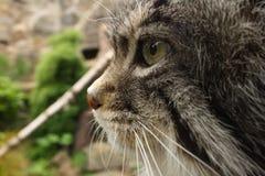 Pallas Cat Stock Photography
