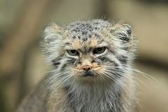 Pallas cat detail Royalty Free Stock Image