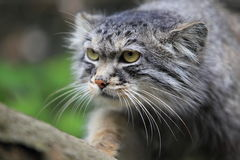 Pallas cat Royalty Free Stock Image