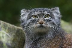 Pallas cat or Manul. Solitair living undomesticated small wild cat living in Central Asia and Mongolia Stock Photography