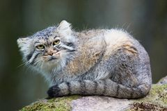 Pallas cat Stock Photo
