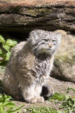 Pallas' cat, manul Otocolobus, among the most beautiful cats Stock Image