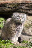 Pallas' cat, manul Otocolobus, among the most beautiful cats Royalty Free Stock Photography