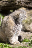 Pallas' cat, manul Otocolobus, among the most beautiful cats Stock Photos