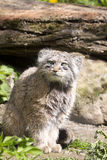 Pallas' cat, manul Otocolobus, among the most beautiful cats Stock Photography