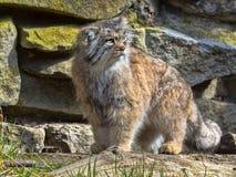 Pallas` cat, Otocolobus manul, a beautiful mountain cat. The Pallas` cat, Otocolobus manul, a beautiful mountain cat Royalty Free Stock Image