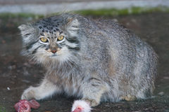 Pallas cat (Otocolobus manul). Stock Photos