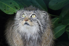 Pallas Cat peering out from under a bush Stock Photos