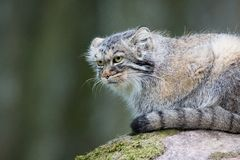 Pallas cat rests Royalty Free Stock Photo